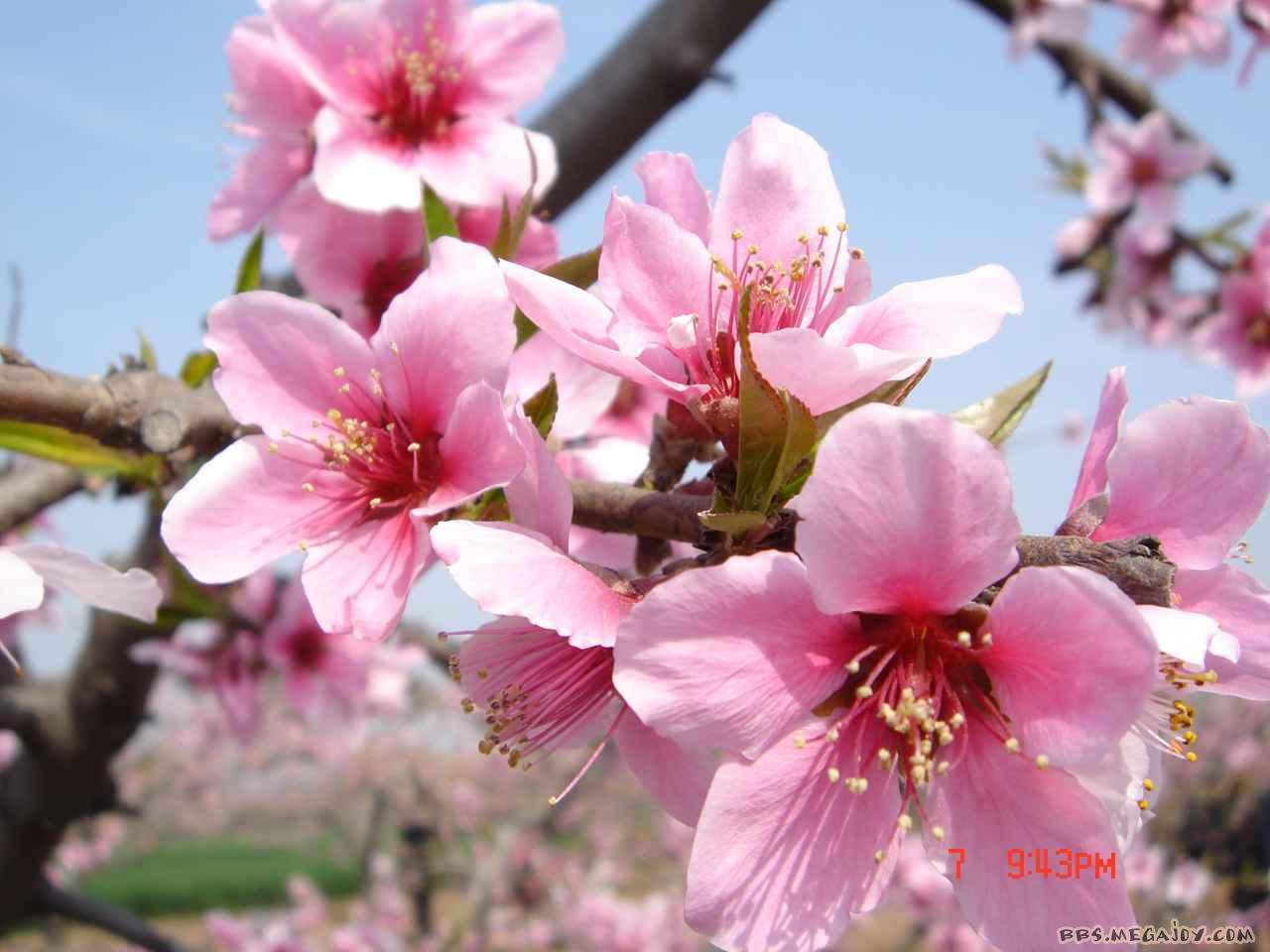 007]盛开的桃花大图可以做桌面-桃花壁纸图片